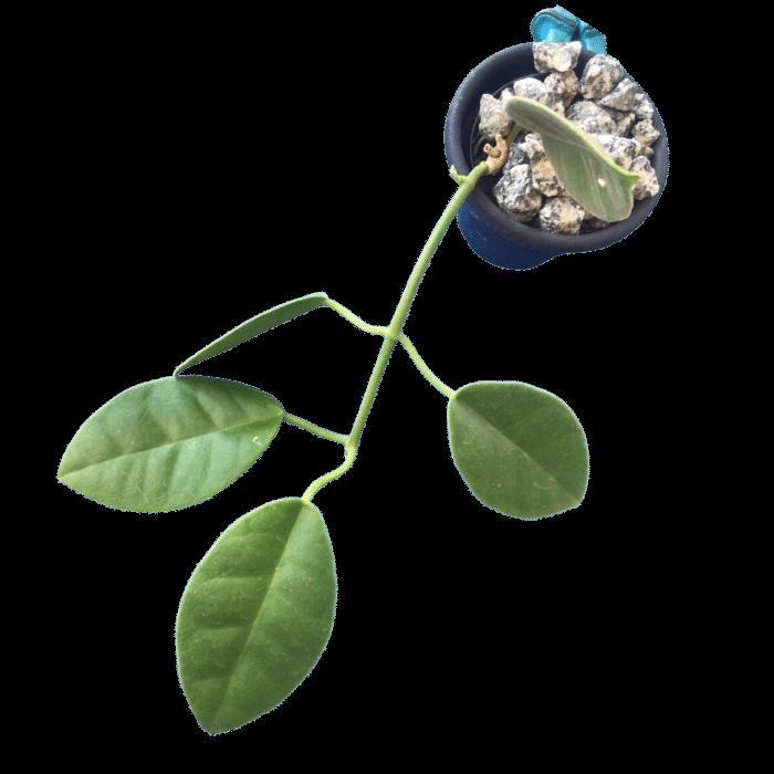 Hoya lauterbachii - muda pequena - flor de cera