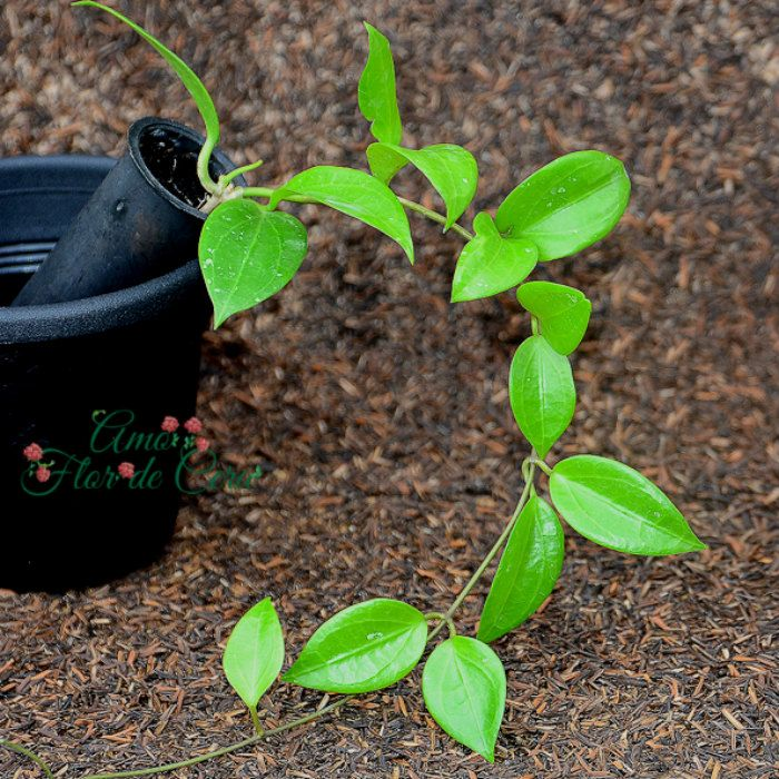 Hoya limoniaca - flor de cera