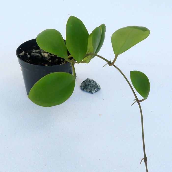 Hoya lucardenasiana - flor de cera