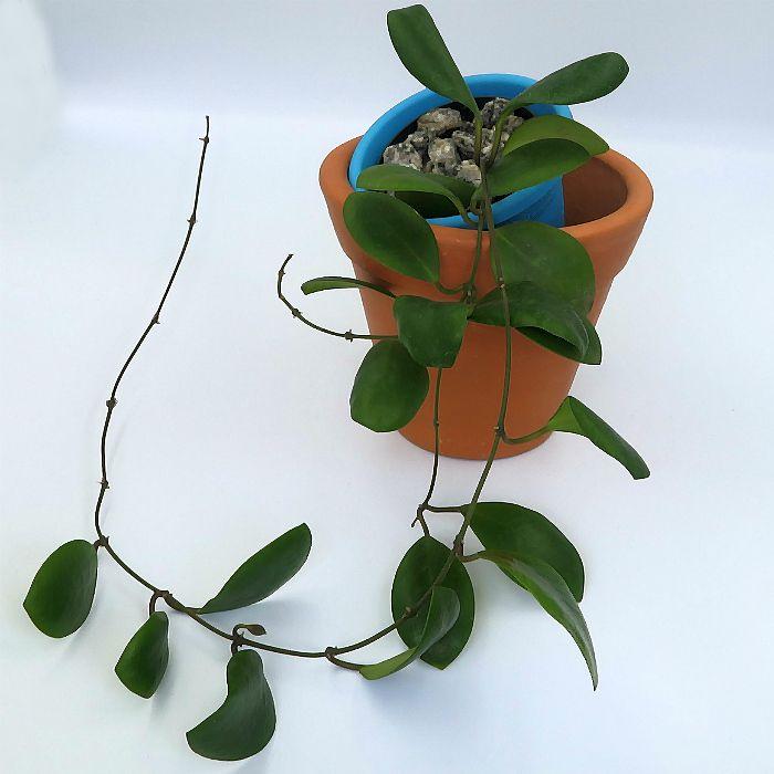 Hoya lucardenasiana - muda flor de cera