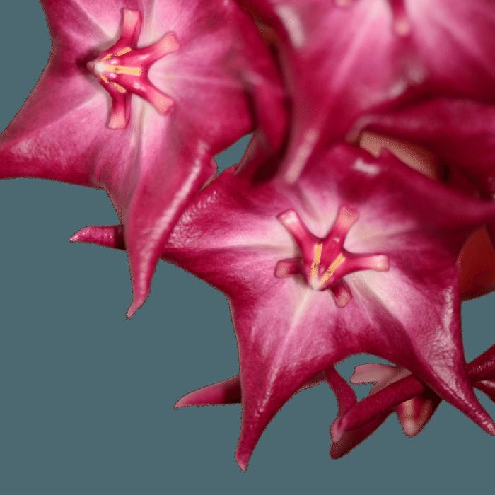Hoya macgilivrayii - flor de cera