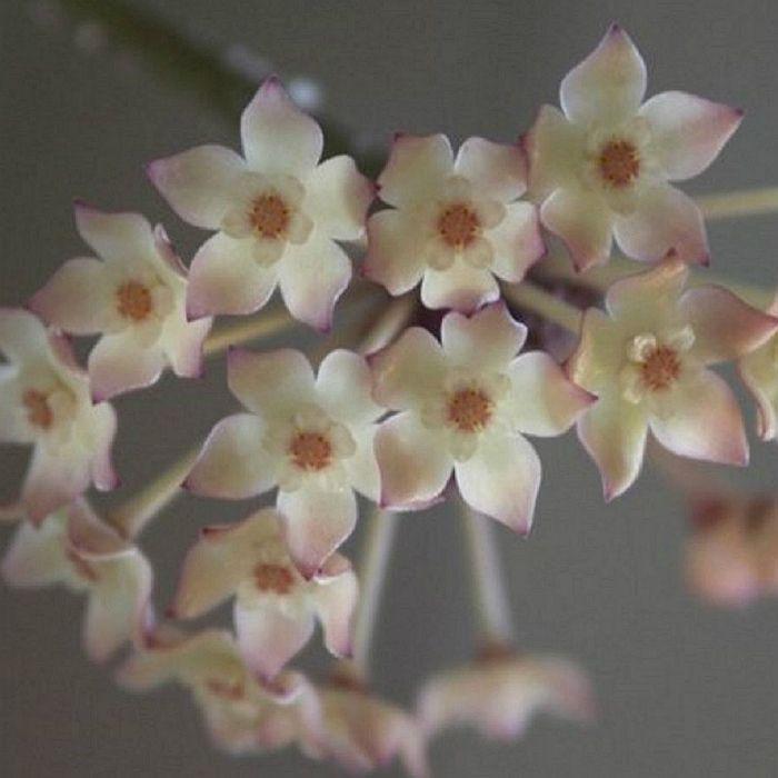 Hoya macrophylla albomarginata - flor de cera