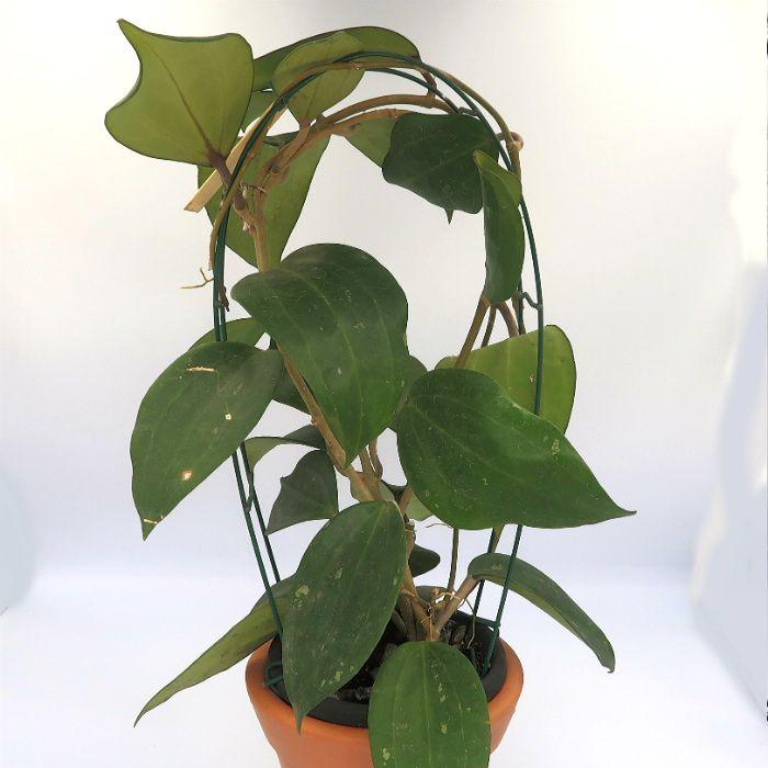 Hoya macrophylla - flor de cera - muda grande