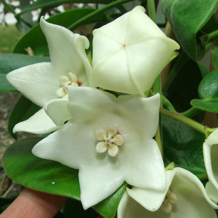 Hoya magnifica NG white - flor de cera