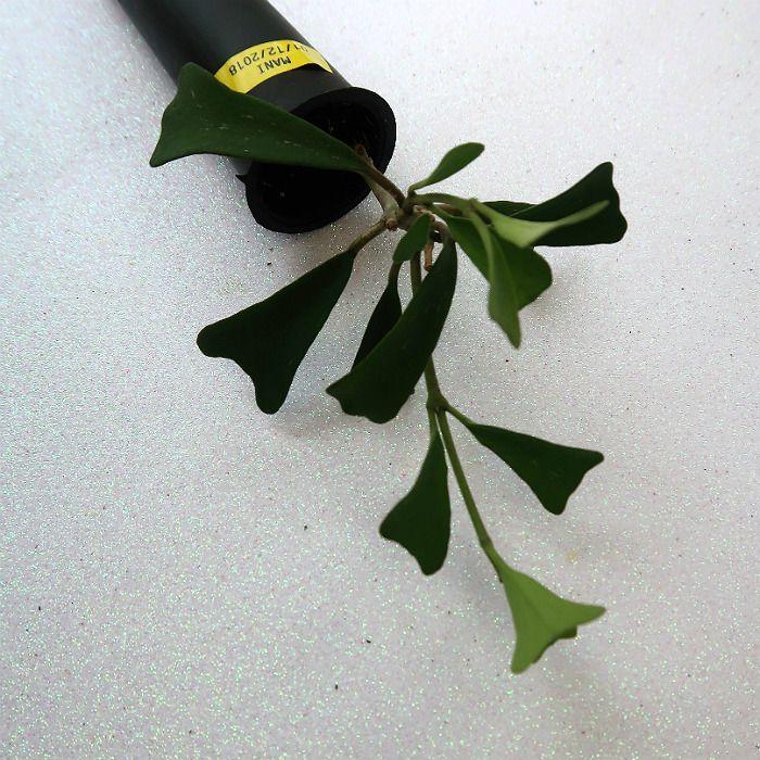 Hoya manipurensis - flor de cera - muda pequena
