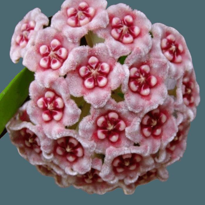 Hoya meliflua ssp meliflua - flor de cera