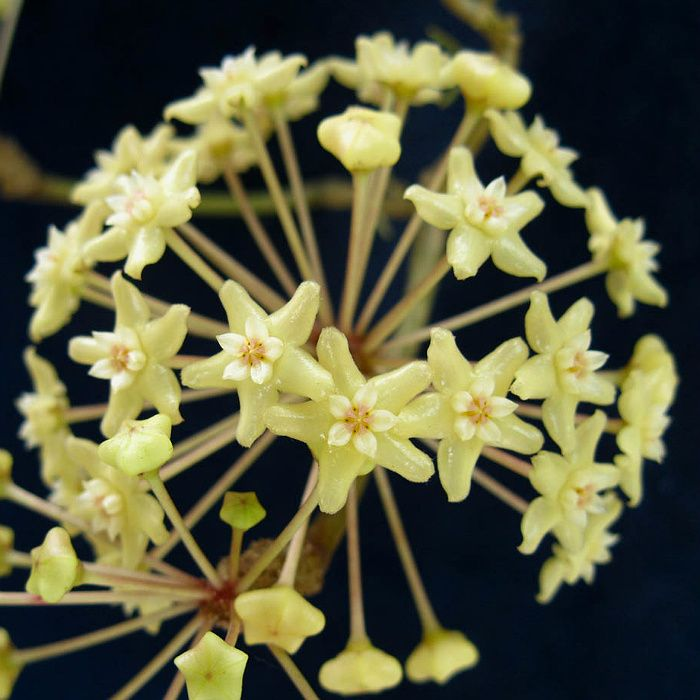 Hoya merrillii - flor de cera