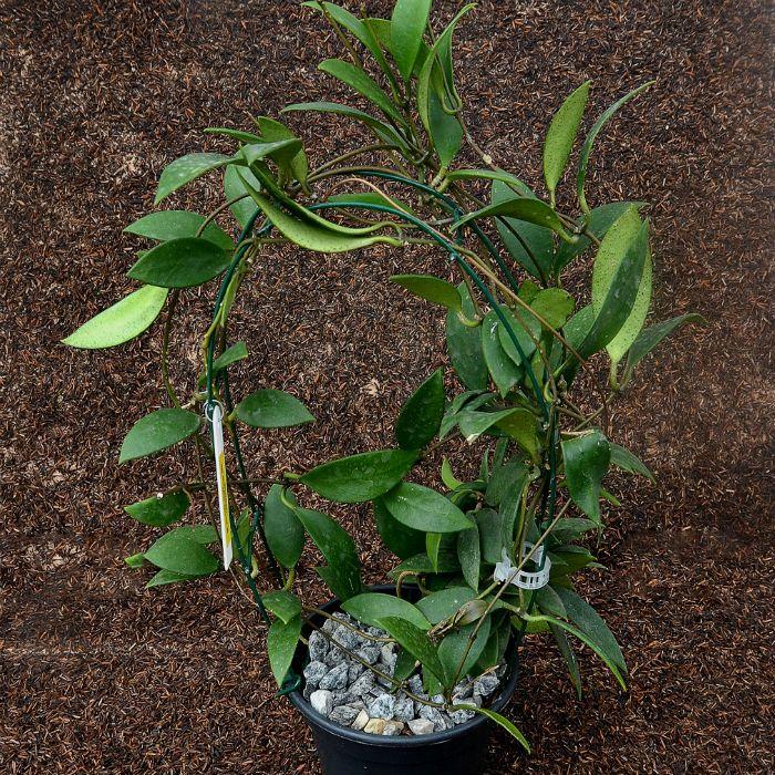 Hoya micrantha - flor de cera - muda grande