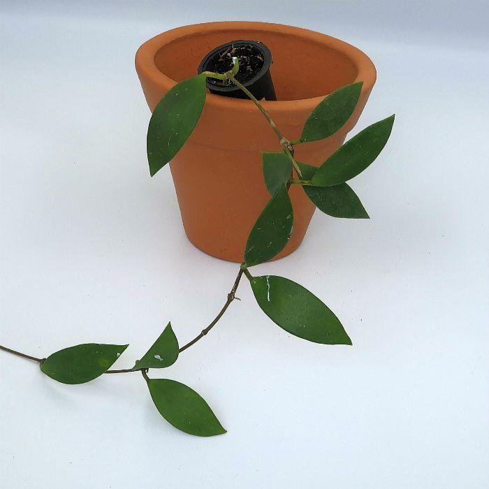 Hoya micrantha - muda flor de cera