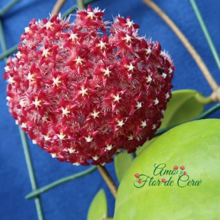 Hoya midorensis red - flor de cera