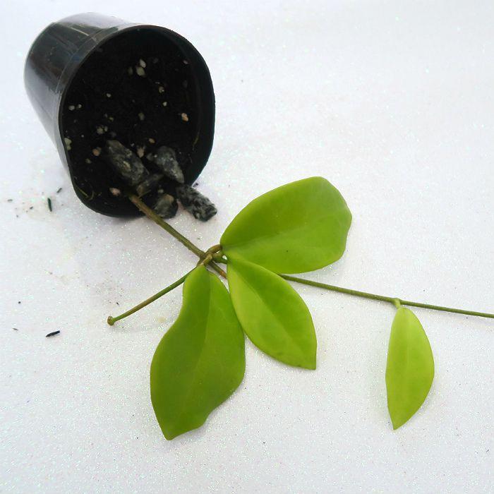 Hoya midorensis yellow - muda flor de cera
