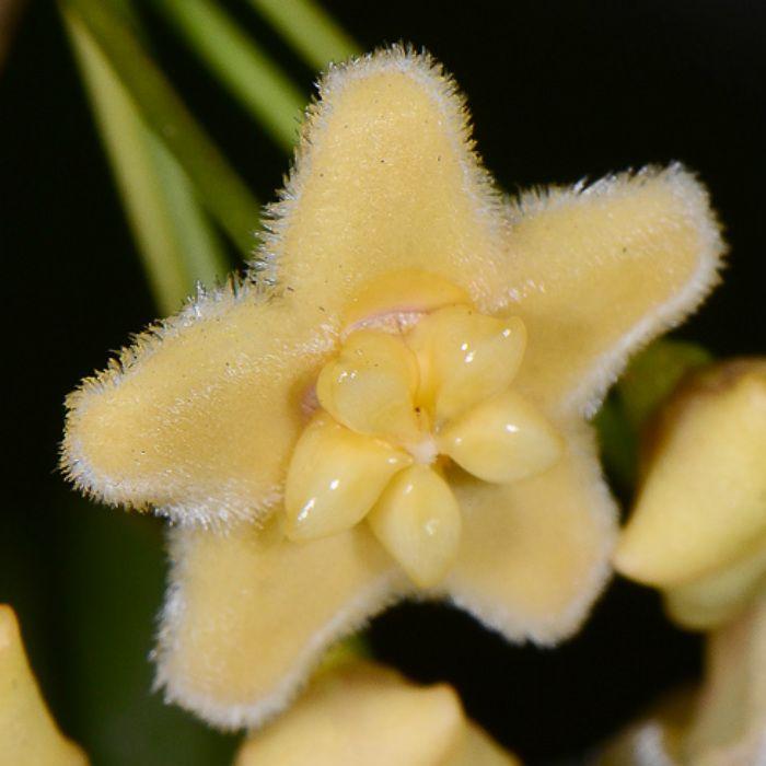 hoya montana - flor de cera