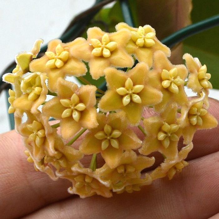 hoya montana - flor de cera - corte não enraizado