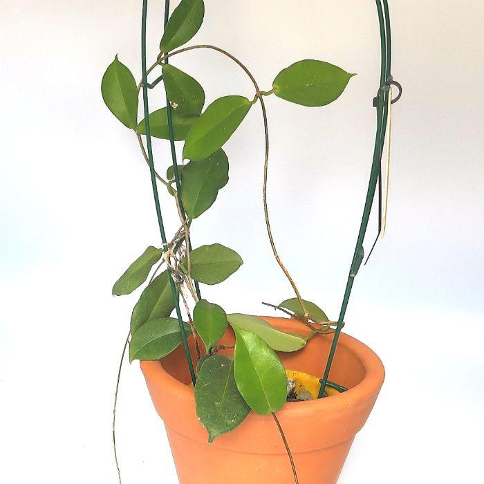 Hoya montana - muda flor de cera