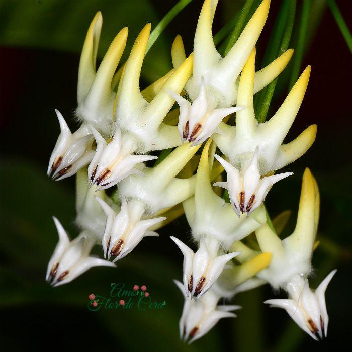 Hoya multiflora - flor de cera