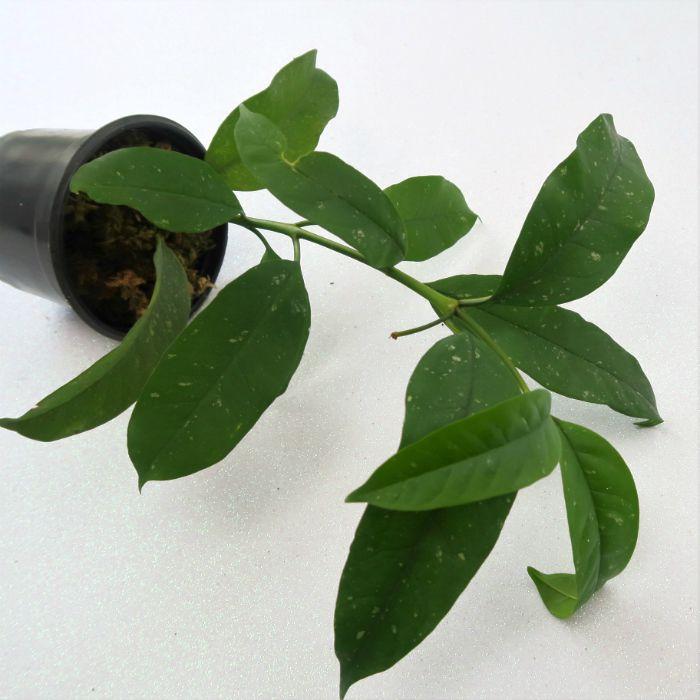 Hoya multiflora - muda flor de cera