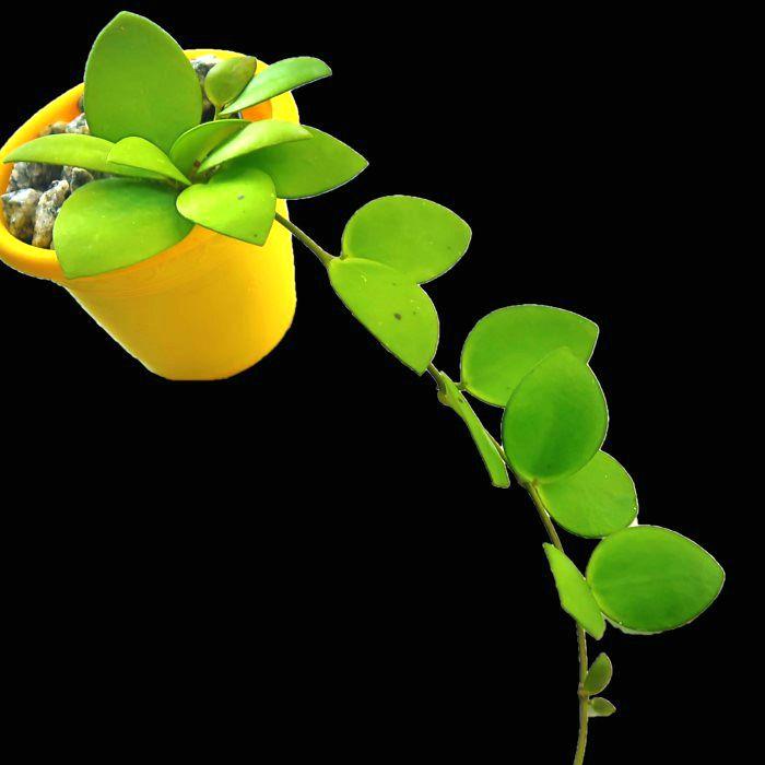 Hoya mymercopa - flor de cera