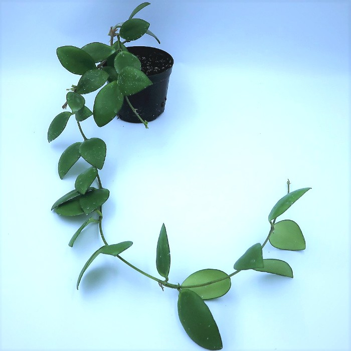 Hoya mymercopa - muda flor de cera
