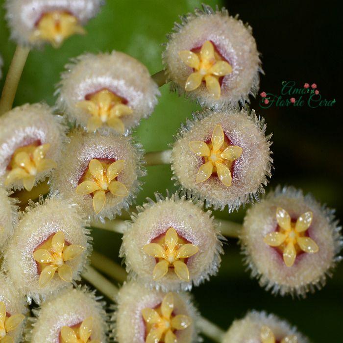 Hoya nabanawensis - flor de cera