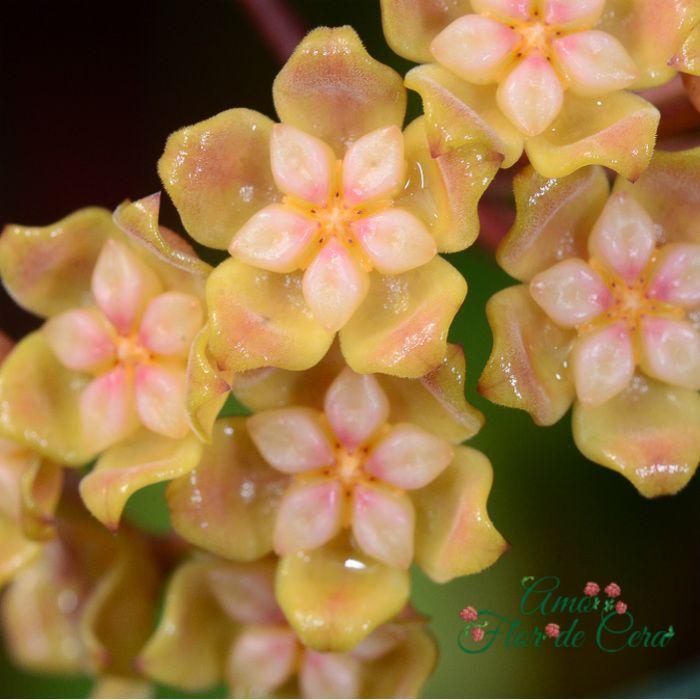 Hoya neoebudica - flor de cera