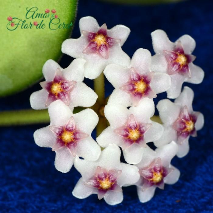 Hoya nummularoides - flor de cera