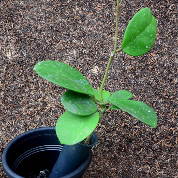 Hoya obovata - flor de cera