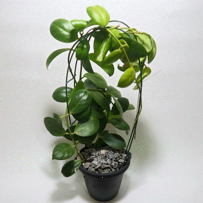 Hoya obscura - flor de cera - muda grande