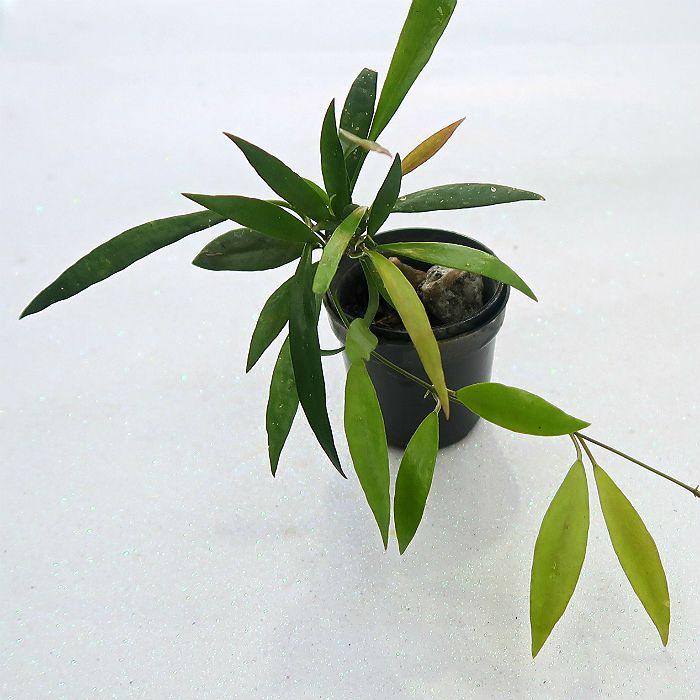 Hoya odetteae - flor de cera