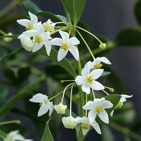 Hoya odorata - flor de cera