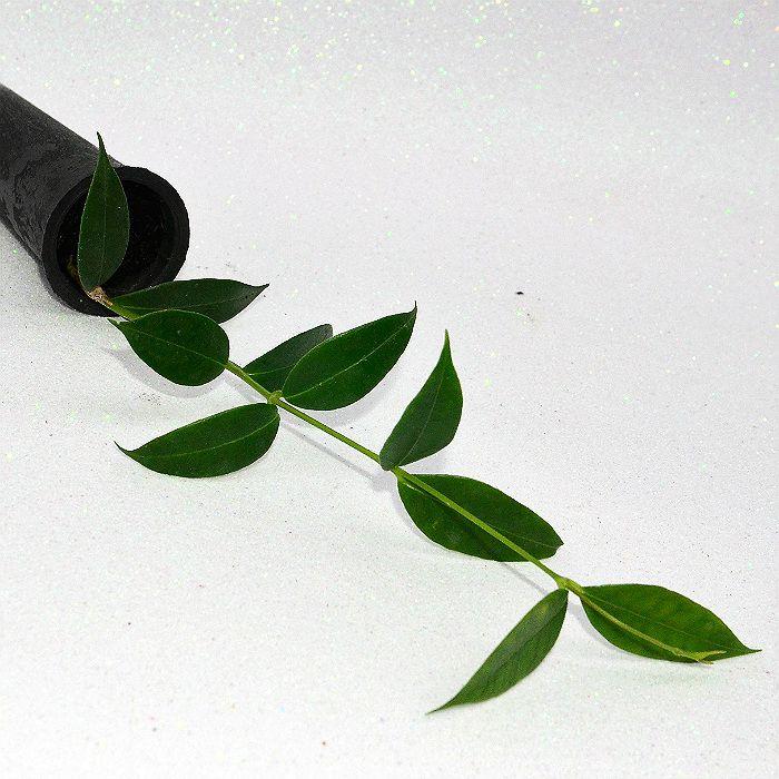 Hoya odorata - muda flor de cera
