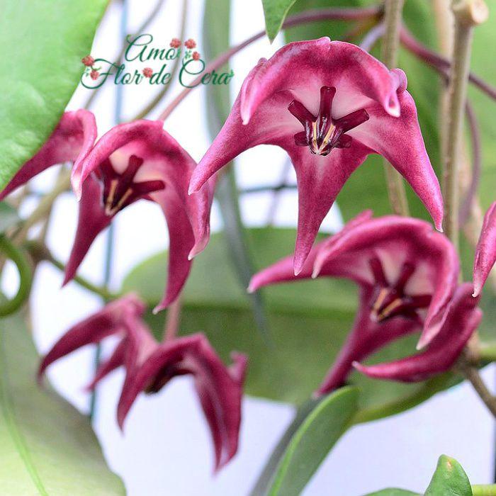 Hoya onychoides - flor de cera