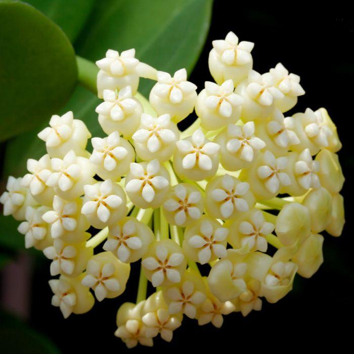 Hoya pachyclada - flor de cera
