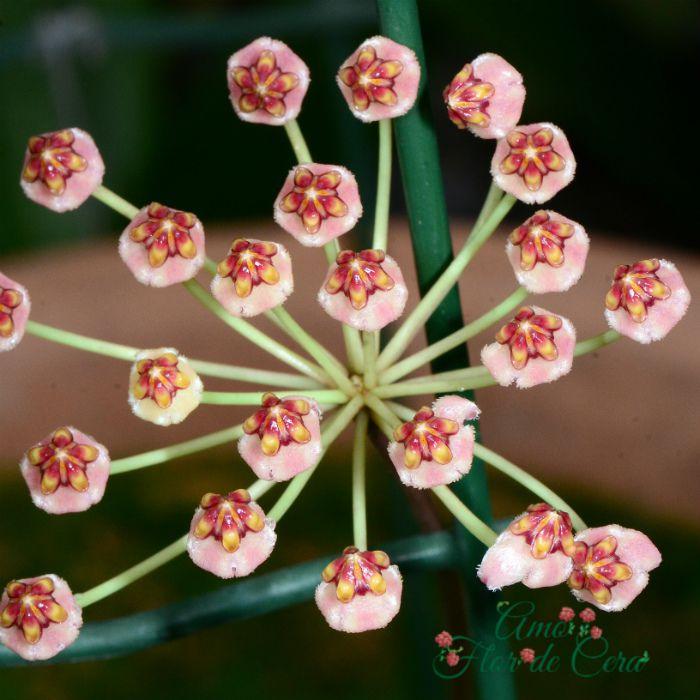 Hoya pallilimba - flor de cera