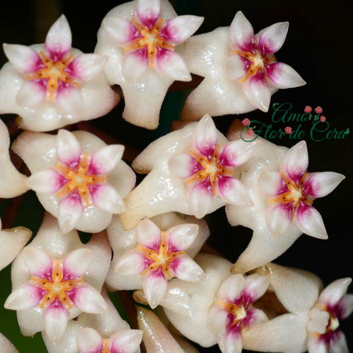 Hoya parasitica - flor de cera