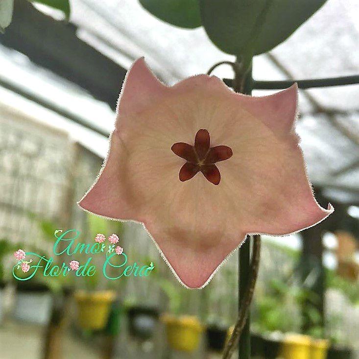 Hoya patella - flor de cera