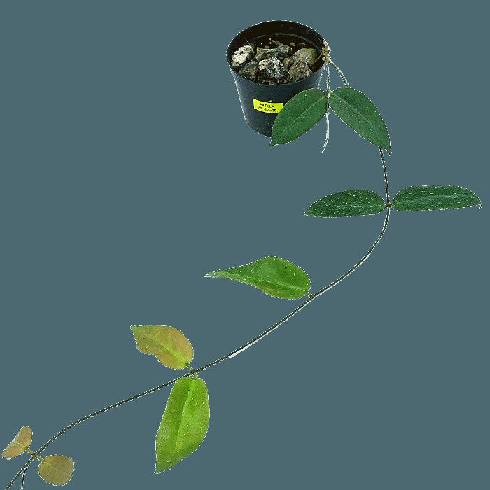 Hoya patella - muda flor de cera