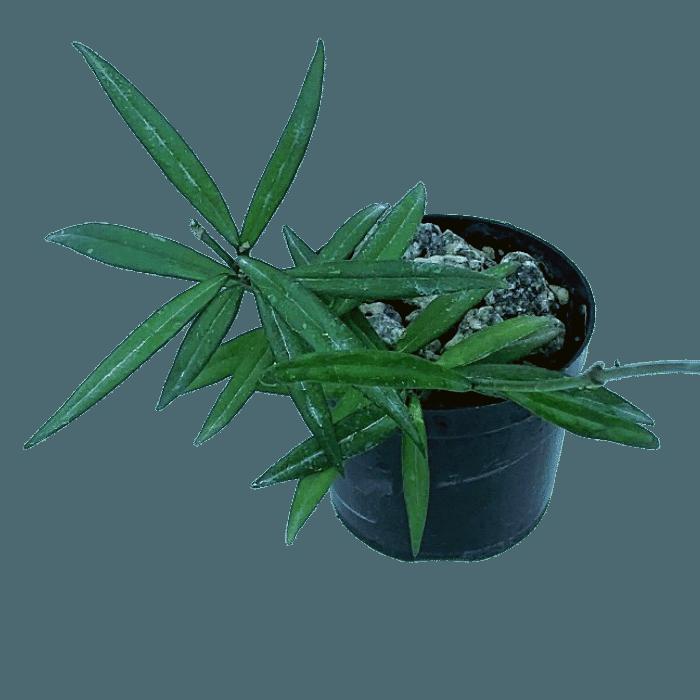 Hoya pauciflora - flor de cera