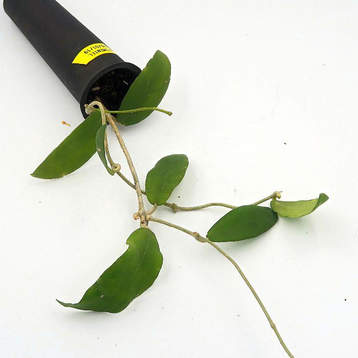 hoya pimenteliana - muda flor de cera