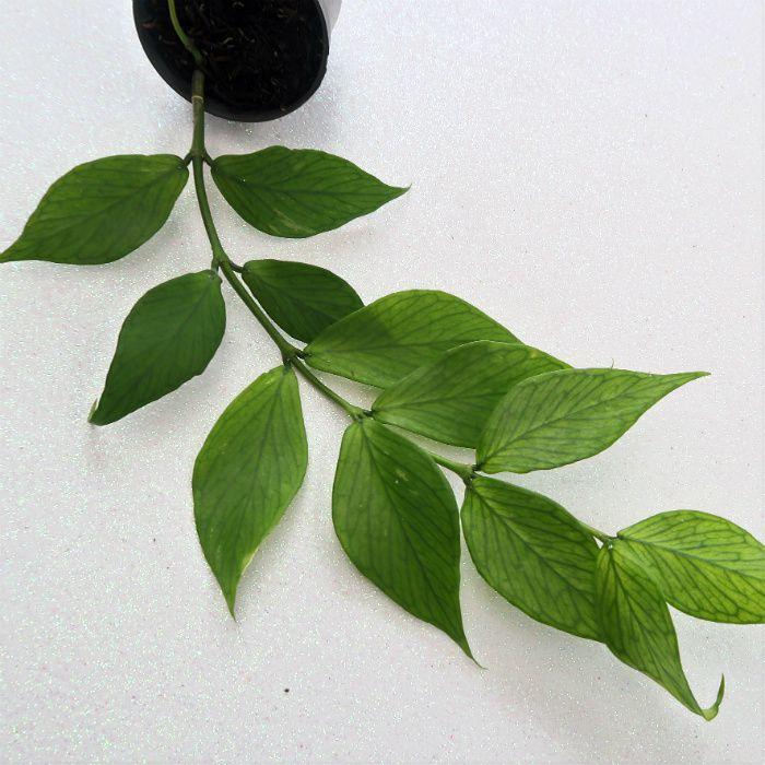Hoya polyneura - muda flor de cera