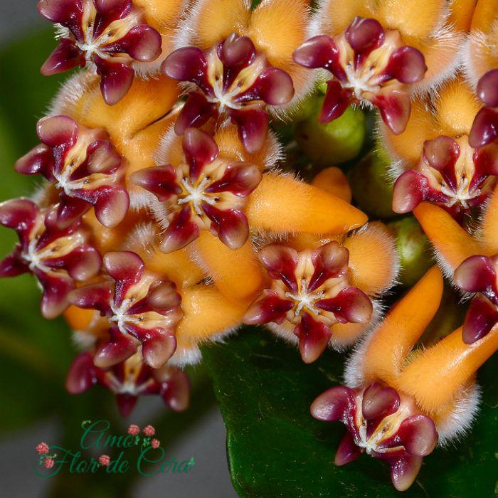 Hoya praetorii - muda flor de cera