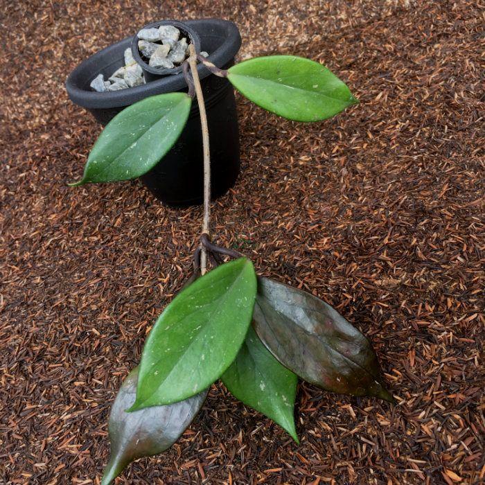 Hoya pubicalyx dark red - flor de cera
