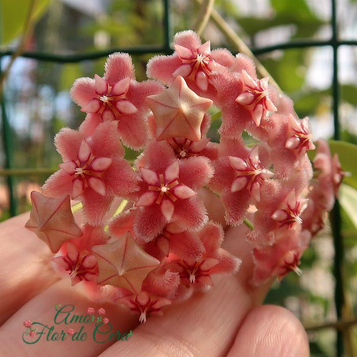 Hoya pubicalyx pink dragon - flor de cera