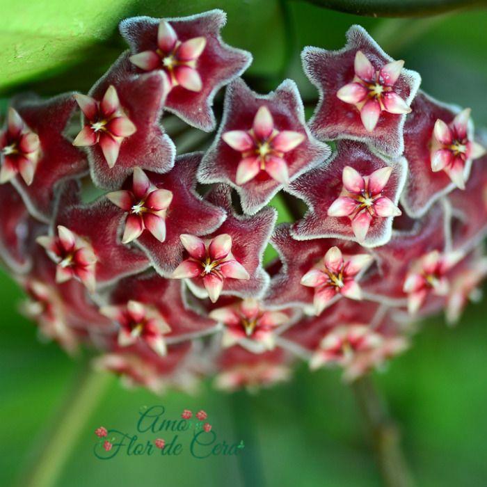 Hoya pubicalyx pink splash - flor de cera