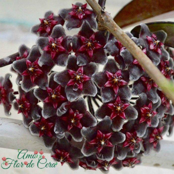 Hoya pubicalyx red button - flor de cera - muda grande
