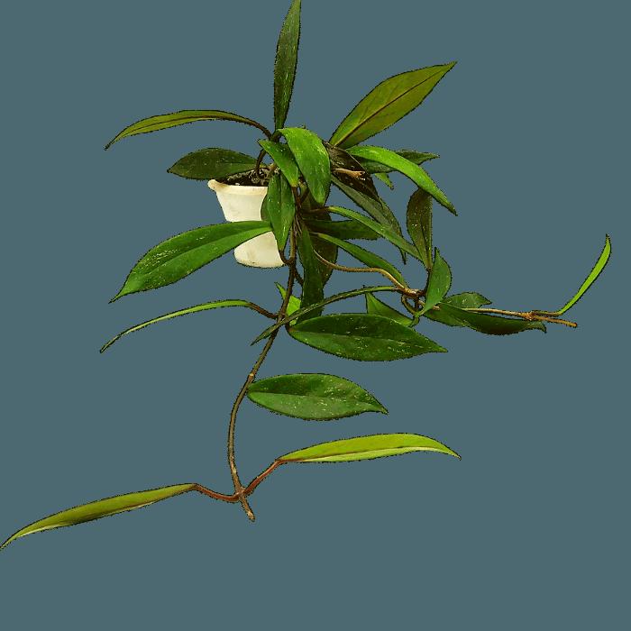 Hoya pubicalyx red button - muda flor de cera