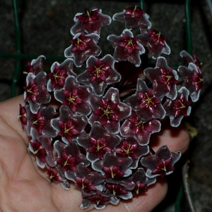 Hoya pubicalyx red splash - flor de cera