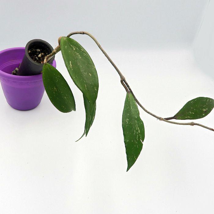 Hoya pubicalyx red splash - flor de cera
