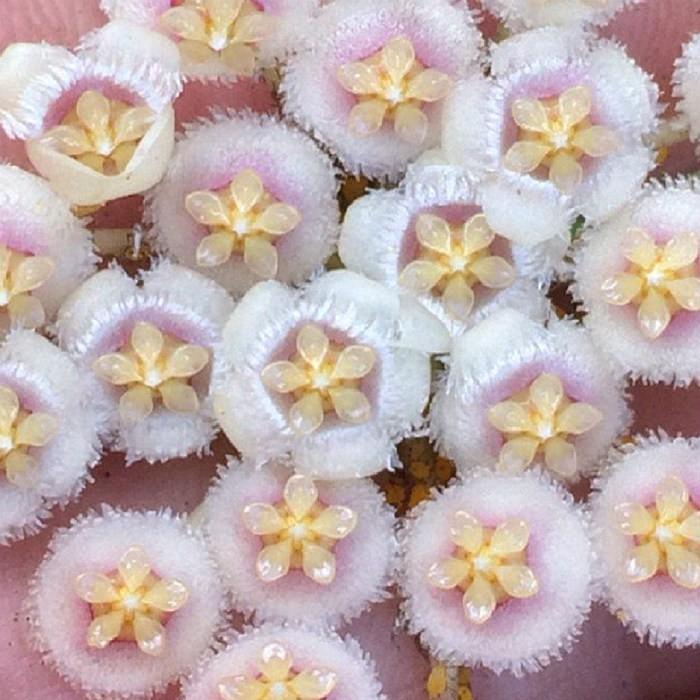 Hoya  pusilla - flor de cera