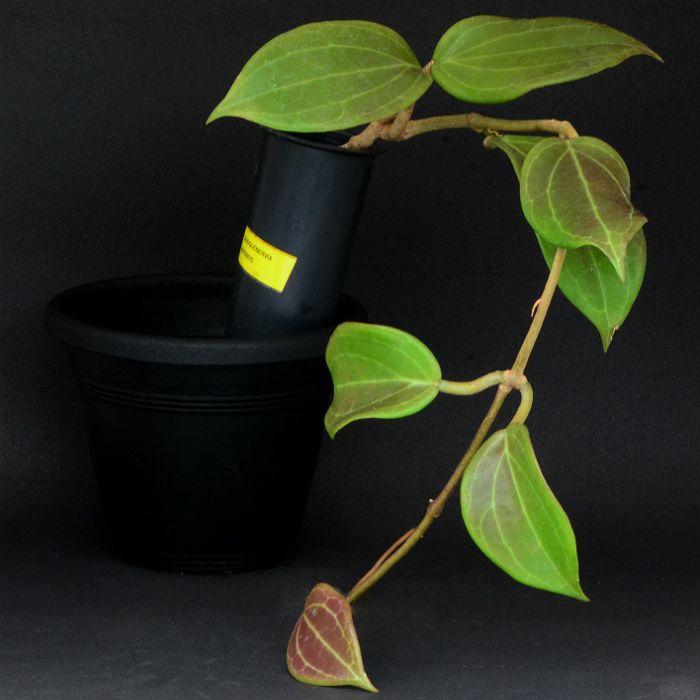 Hoya quinquenervia - flor de cera