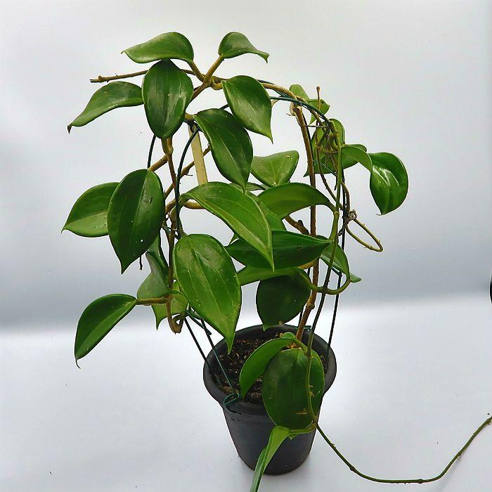 Hoya quinquenervia - muda grande - flor de cera
